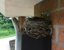 Our Robins are almost all grown up!